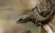 Eastern Fence Lizard Royalty Free Stock Photo