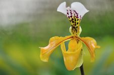 Free Paphiopedilum Blossoming Stock Photos - 17558403