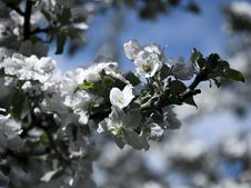 Free Spring Blossom Royalty Free Stock Photography - 17558867
