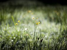 Free Buttercup Early In The Morning Stock Images - 17558874
