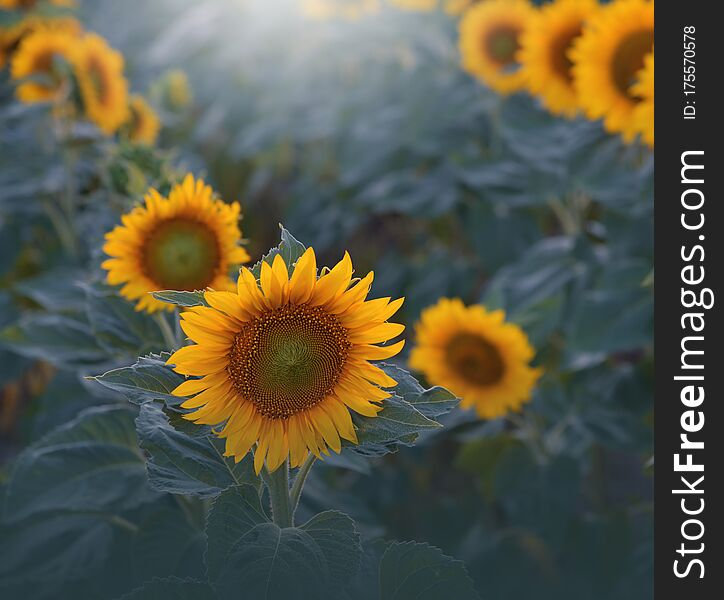Sunflower field,sunset.Beautiful Orange Nature Background.Artistic Wallpaper.Art Photography.Agricultural Landscape.Sunflowers,sun