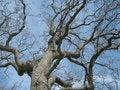 Free California Oak Tree Royalty Free Stock Photo - 17561885