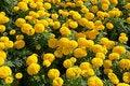 Free Marigold Flowers Royalty Free Stock Image - 17565776
