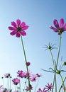 Free Cosmos Flowers Stock Image - 17567571