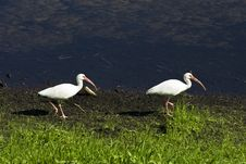 Free White Ibis Birds Royalty Free Stock Photo - 17561325