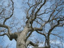 California Oak Tree Royalty Free Stock Photo