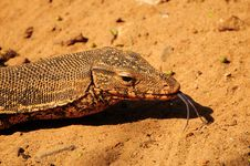 Free Monitor Lizard Closeup Stock Images - 17562904