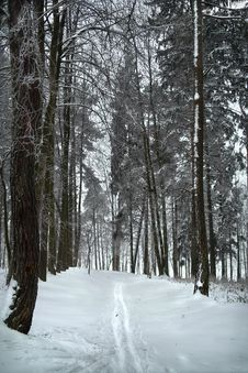 Free Ski Track And Hoarfrost On Tre In Winter Forest. Stock Photo - 17563290