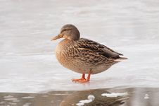 Free Female Mallard On Ice Stock Photography - 17563952
