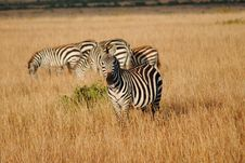 Free Zebra Looking Curious Stock Photography - 17565572