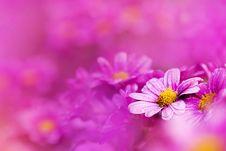 Free Chrysanthemum Stock Image - 17565641