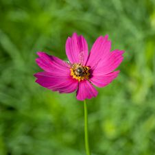 Free Cosmos Flower With Bee Stock Photos - 17565723