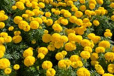 Free Marigold Flowers Royalty Free Stock Image - 17565776