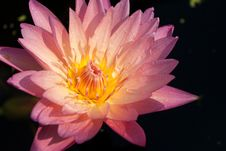 Free Pink Water Lily Stock Photography - 17567582