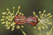 Shield Bugs Stock Photography