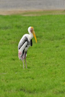 Free The Painted Stork At The Safariworld Zoo Royalty Free Stock Photo - 17567915