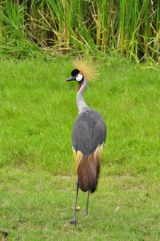 Free Crowned Crane At The Zoo Stock Photo - 17567950