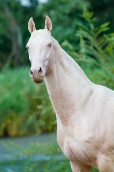 Free Cremello Horse Portrait Stock Images - 17568144