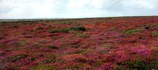 Free Cornish Heather Stock Photo - 17568470