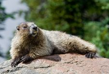 Free Hoary Marmot Warming Up Stock Photography - 17569402