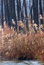 Free Bulrush In Winter Stock Photo - 17575560