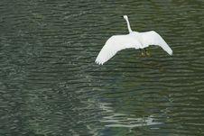 Free White Egret In Flight Royalty Free Stock Image - 17570726