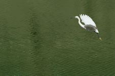 White Egret Extended Its Wings Stock Images