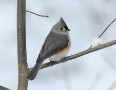 Tufted Titmouse On Snowy Branch Stock Photography