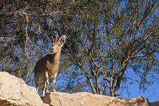 Free Female Ibex Royalty Free Stock Photo - 17572915