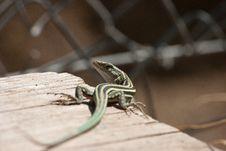 Free Lizard Royalty Free Stock Photos - 17576048