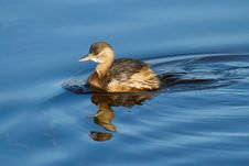 Free Little Grebe Stock Photo - 17576130