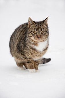 Free Cat At Snow Royalty Free Stock Photo - 17576715