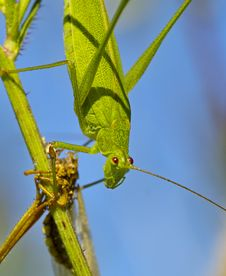 Free Green Grasshopper Stock Photos - 17576733