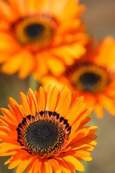 Free Orange Gerbera Royalty Free Stock Image - 17578136