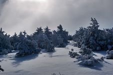 Free Snow Covered Pine Trees Royalty Free Stock Images - 17578409