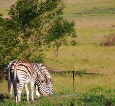 Free South African Zebras Stock Photo - 17578770