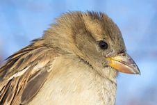 House Sparrow Female Portrait / Passer Domesticus Stock Images