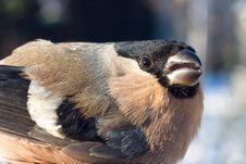 Free Bullfinch, Female / Pyrrhula Pyrrhula Stock Photos - 17579133