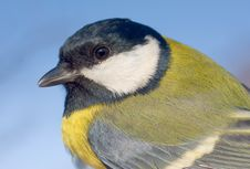 Great Tit Close-up (Parus Major) Stock Images