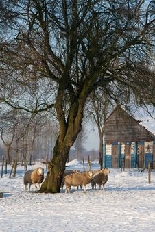 Free Winter Sheep Stock Photo - 17579210