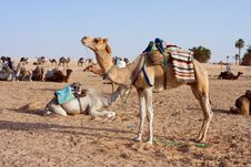 Free Camels Royalty Free Stock Photography - 17579877