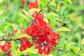 Free Branch With Red Flowers Royalty Free Stock Photography - 17581147
