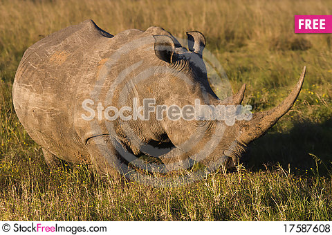 Free White Rhino Royalty Free Stock Photos - 17587608