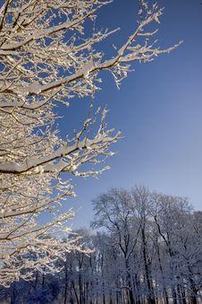 Free Snow On Trees Royalty Free Stock Photo - 17580485