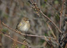 Free Migrating Yellow-Rumped Warbler Stock Image - 17580541