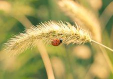 Free Ladybug On The Yellow Blade Royalty Free Stock Image - 17580716