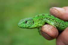 Free Green Lizard Royalty Free Stock Images - 17581489