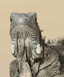 Free Green Iguana Facing Camera - Bonaire Royalty Free Stock Photos - 17583058