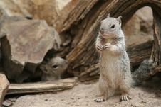 Free Rock Squirrel - Tucson, Arizona Royalty Free Stock Photos - 17583078