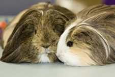 Free Two Guinea Pigs Close Up Stock Photography - 17583422